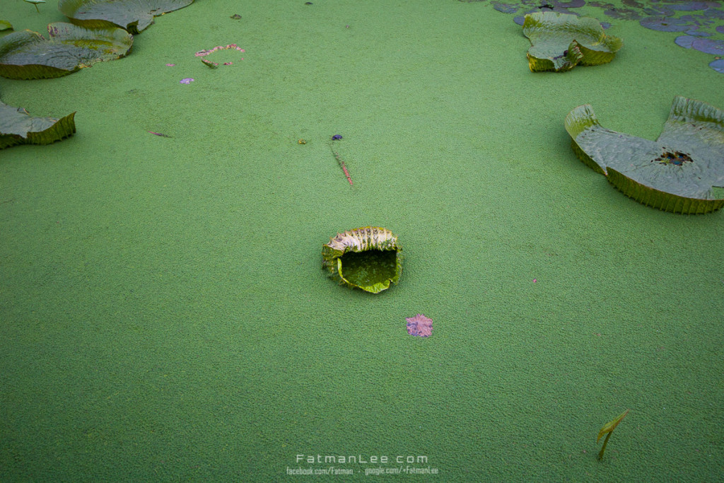 Withered Lotus Leaf